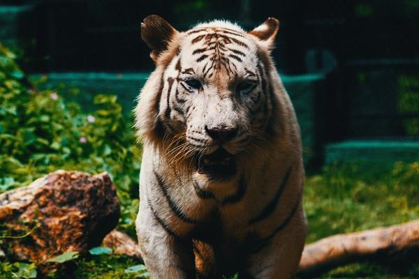 Exponentielles Wachstum und der Tiger